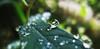Faut vivre (nathaliedunaigre) Tags: nature drops gouttelettes rain pluie feuilles leaves plantes plants macro détails details eau water jardin garden quiet calme paix peace bokeh macromondays redux