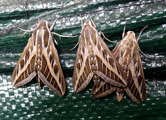 Striped Hawkmoths. Hyles livornica (gailhampshire) Tags: striped hawkmoth hyles livornica taxonomy:binomial=hyleslivornica explored