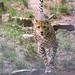 Running young cheetah