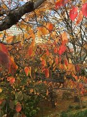 晩秋の風景 (eyawlk60) Tags: park color leaf leaves deadleaf  秋 晩秋 友呂岐緑地 枯れ葉 葉 公園 木 桜の木 植物 寝屋川市 美しい