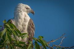 The Noble (BlueberryAsh) Tags: darwin kakadu yellowwaters whitebelliedseaeagle bird birdofprey raptors australianbird nikond750 tamron150600