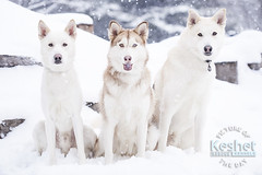Picture of the Day (Keshet Rescue) Tags: dogrescue kennel kennels adoption dog adoption ottawa ontario canada keshetrescue keshetkennels largebreeddogs animal animals dog dogs pet pets blood bank interactive game keshet