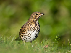 Song Thrush (angus molyneux) Tags: stmarys scilly songthrush