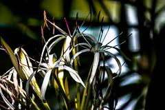 in the shadows (-gregg-) Tags: flowers shadows water drops bahamas bokeh
