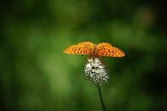 fritillary butterfly (Speyeria sp.) (Team Kweeper) Tags: butterly pollinator sierranevada meadow wildflower