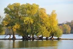 Willows - Rhine River (ivlys) Tags: rheingau oestrichwinkel fluss river rhein rhine wasser water weide willow salix baum tree landschaft landscape nature ivlys