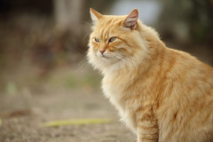 Kitten (Teruhide Tomori) Tags: animal cat japan    onomichi kitten