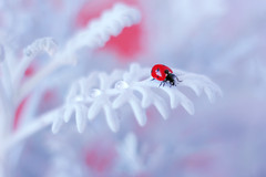 Jacobaea maritima (ElenAndreeva) Tags: red beauty winter color water blue sun light cute colors dof insect canon top soft colorful lens composition sweet focus bug best amazing nature bokeh macro flower drop dream ledybug