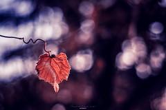 Last leaf (Eduard.I.P) Tags: leaf nikon d7200 color simplesuperb super photography awsome