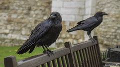 Tower of London (Danno KaBlammo) Tags: europe danny bourque 2016 uk british england london britain gb great united kingdom brits english tower medieval crows