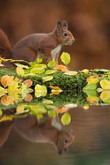 Reflection (Rob Christiaans  Nature and Wildlife) Tags: canon5dmkiii canonef500mmf4is redsquirrel squirrel eekoorn rodeeekhoorn veluwe wildlife mammal reflection mirror