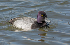 JWL5869  Lesser Scaup.. (jefflack Wildlife&Nature) Tags: lesserscaup scaup scaups birds avian animal wildlife wildbirds waterbirds wetlands waterfowl waterways ducks countryside lakes ponds reservoirs marshes cbwr nature