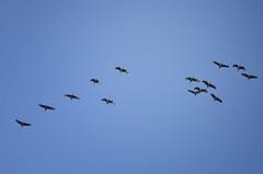 Cacophony (Kerfuffle~) Tags: birds migration sky wintermigration chicago sandhillcranes gruscanadensis