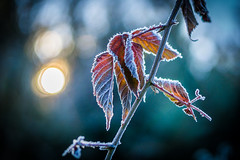 Frozen (UpuautX) Tags: winter frozen foliage bltter gefroren eis herbst