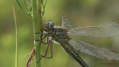Westliche Keiljungfer (Gomphus pulchellus) an einem Halm (Oerliuschi) Tags: westlichekeiljungfergomphuspulchellus libelle dragonfly insekten insect makro macro focusstacking heliconfocus olympusm60 lumixgx8 panasonic natur nature grashalm see wasser