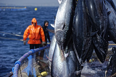 Tuna investigation, killing day in St Julien's bay, Malta. (Philippe Henry Pictures) Tags: tuna investigation killing day stjulien malta boat sailor