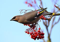 Waxwing (George Findlay) Tags: waxwing bird nikon d7000 sigma150600 ayrshire