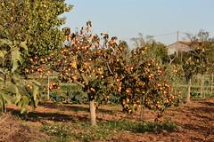 Diospyros kaki (esta_ahi) Tags: diospyros kaki diospyroskaki caqui palosanto ebenaceae fruta frutos fruto árbol frutal cultivado flora fontrubí penedès barcelona spain españa испания antonividal