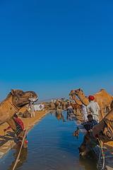 Water, the Source of Life! (Koshyk) Tags: pushkar mela pushkarmela pushkarcamelfair camel camelfair rajasthan water wateringpoint wateringcamel camelatwateringpoint