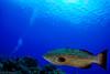 (jcl8888) Tags: fish grouper ocean sea blue scuba diving diver nikon d7100 nauticam tokina 1017mm polkadots spots coralreef cozumel mexico yucatan travel adventure