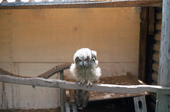 Eagle owl chick (SteveInLeighton's Photos) Tags: transparency england gloucestershire agfachrome newent 1981 may chick owl
