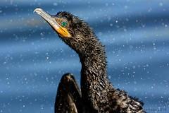 2016 Shake it Up_Paule Hjertaas (paule48) Tags: arizona wet gilbert cormorant waterdrops shaking neotropic