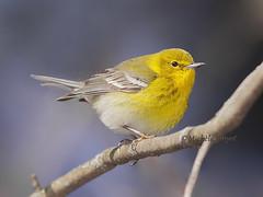 Paruline des pins / Pine warbler - Male (mitch099) Tags: male bird nature beauty pine spring quebec pins beauté printemps oiseau warbler joliette lanaudiere paruline micheleamyot mitch099