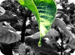 The drop (Bia Pocket) Tags: chuva drop gotas folha
