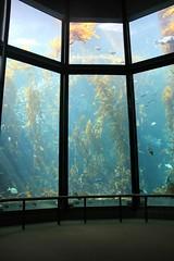Monterey Bay Aquarium (Laika ac) Tags: california ca usa aquarium montereybayaquarium montereybay kelp kelpforest kelptank