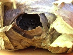 A wasps nest found in a customers shed whilst re-homing honey bees