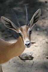 GACELA [EXPLORED Julio 2014] (Marianel1) Tags: madrid nature animal spain nikon gacela epaa natualeza d3000 marianel1
