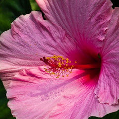 Big Blousey Pink Hibiscus (Keith in Exeter) Tags: pink flower petals cornwall blossom edenproject hibiscus stamen bloom stigma naturesfinest staustell ruby15 ruby20 rubyfrontpage
