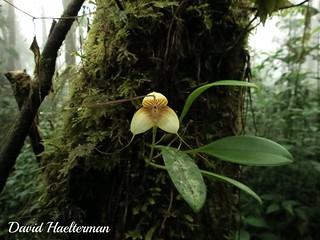 Masdevallia tricolor (especie endémica de Venezuela, parecida a caudata pero distinta aunque algunos autores la consideran erroneamente como sinonimo de caudata) in situ en la region andina, Venezuela