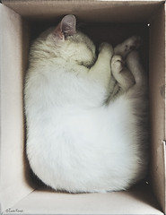 sleeping (moggierocket) Tags: sleeping pet white cute cat box folded asleep boxed cosy fit thecatwhoturnedonandoff gettylicensed licensedbygetty