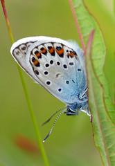Silver-studded Blue (plebeius argus) (celerycelery) Tags: uk macro nature butterfly insect wildlife butterflies lepidoptera ukspecies