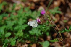 Tintenfleck Weißling (Aah-Yeah) Tags: wood white butterfly bayern schmetterling achental chiemgau reali leptidea tagfalter marquartstein tintenfleck reissinger weisling senfweisling sinupis