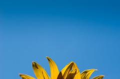 2014 365 arlophotochallenge 217-365 - sunflower (Arlo Bates) Tags: blue sky canada blur hot yellow nikon winnipeg bokeh sunny bluesky manitoba walkabout sunflower morden 2014 postedtoflickr af70300mmf456ded d7000 nikond7000 2014365photoproject