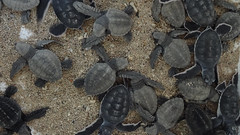 Baby Turtles, Serangan Island Turtle Conservation Centre, Bali, Indonesia (dannymfoster) Tags: bali indonesia cow serangan seranganisland