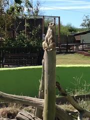 Meerkat (Silcoxski) Tags: uk animal wales meerkat europe cymru borth borthanimalarium
