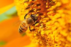Neerdesiiiin??? / Wheere are youuu? (Atakan Eser) Tags: yellow search bee sunflower curiosity honeybee v2 sarı merak arı balarısı dsc3146 ayçiçeği arayış