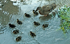 Paseo en familia / Family walk (Charo Castro) Tags: espaa primavera spain patos patitos castillalamancha rojcar alcaldeljcar cuencadeljcar