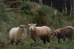 Three sheep and two birds (Bruna Schneemann) Tags: plants green grass birds animal countryside sheep farm pasture land sheeps simplelife domesticatedanimals