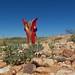 Fabaceae Faboideae>Swainsona formosa Sturt's Desert Pea DSCF2028