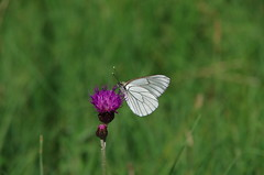 Baumweißling (Aah-Yeah) Tags: white black butterfly bayern schmetterling achental veined chiemgau aporia crataegi tagfalter marquartstein baumweisling