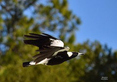 DSC_0013 (7) (RUMTIME) Tags: bird nature birds fly flying flight feathers feather queensland magpie coochie coochiemudlo