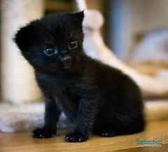 DSC_2012 (Breatnac Photography) Tags: baby black cute cat photography big eyes kitten pretty little small sparkle breatnac