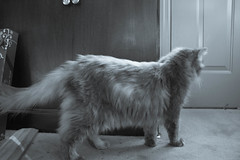 I want out (michael_pictures) Tags: pets cute animals forest cat grey kitten feline soft adorable kitty norwegian aww meow