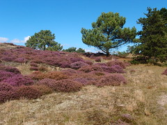 20140830 014 (Walter_71) Tags: nature dune heath noordhollands duinreservaat