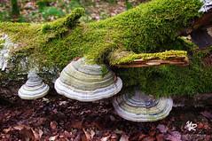 Mushroom on tree, NETHERLANDS (Yannick-R) Tags: pictures tree nature mushroom netherlands mushrooms photography photo photographer picture yannick mushroomontree rivoire
