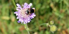 Bij (Marcel's gallery) Tags: summer flower macro nature up insect denmark close insects bee honey zomer bij denemarken bloem honing stuifmeel